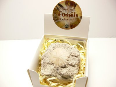 Oursin fossile coffret